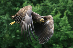 The White-tailed Eagle Royalty Free Stock Photography