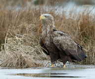 White tailed eagle Royalty Free Stock Image