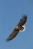 White Tailed Eagle Stock Images