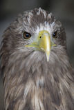 White Tailed Eagle. With its piercing stare Stock Photography