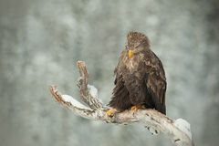 White Tailed Eagle Royalty Free Stock Photo