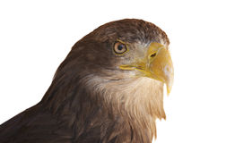 White-tailed eagle. The White-tailed Eagle is also called the Sea Eagle, Erne, and White-tailed Sea-eagle Royalty Free Stock Image