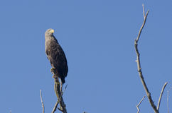White Tailed Eagle. Sitting on a branch Royalty Free Stock Images