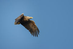 White-tailed Eagle. Norwegian White-tailed Eagle in flight against a cloudless blue sky Stock Images