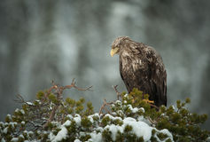 White-tailed Eagle. A female eagle perched on top of a stunted pine tree and using her elevated position to scan the ground for prey movement Royalty Free Stock Photos