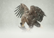 White-tailed Eagle. A female White-tailed Eagle feeding on a Ptarmigan in heavy blizzard conditions Stock Images