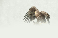 White-tailed Eagle. A female White-tailed Eagle feeding on a Ptarmigan in heavy blizzard conditions Royalty Free Stock Photography