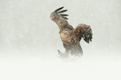 White-tailed Eagle. A female White-tailed Eagle feeding on a Ptarmigan in heavy blizzard conditions Royalty Free Stock Photos