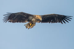 Close-up White-tailed eagle. White-tailed eagle close-up oderdelta poland Stock Photo