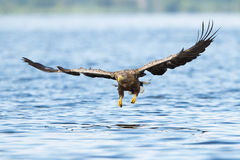 White-tailed eagle. Close-up oderdelta poland Stock Images