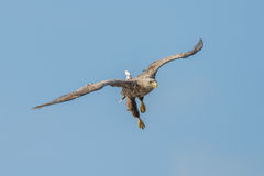 White-tailed eagle. Close-up oderdelta poland Stock Photography