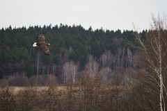 White-tailed Eagle above a landscape Royalty Free Stock Photos