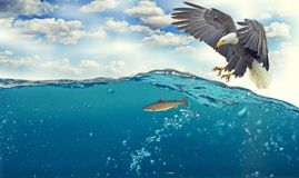 White Tailed Eagle, Adler Royalty Free Stock Images