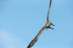 White-tailed Eagle Aerobatics. Royalty Free Stock Photos