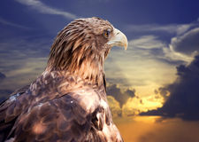 White-tailed eagle against sunset Royalty Free Stock Image