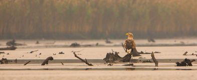 White-tailed Eagle in autumn light Royalty Free Stock Photo