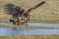 White-tailed eagle bathing Royalty Free Stock Photos
