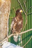 White-tailed eagle, the beautiful, large bird of prey. bright, strong bird. royalty free stock photo