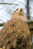 White tailed eagle. Beautiful white tailed eagle standing on the stamp in a cage at the zoo stock photos