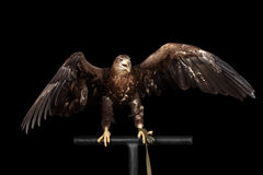 White-tailed eagle, Birds of prey isolated on Black background Royalty Free Stock Photos