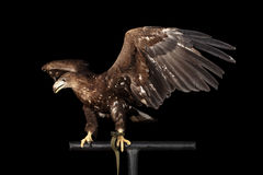 White-tailed eagle, Birds of prey isolated on Black background Stock Photo