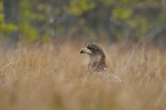 White-tailed eagle in bog royalty free stock photo