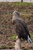 White tailed eagle on a branch. White Tailed Eagle in zoo, proud bird on the branch Stock Photo