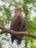 White tailed Eagle royalty free stock photos