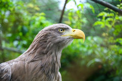 White tailed eagle in captivity Stock Images