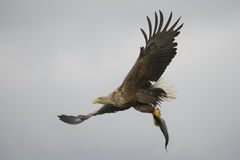 White-tailed Eagle with catch. Stock Photos