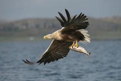 White-tailed Eagle with catch. royalty free stock photo