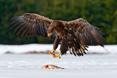 White-tailed Eagle with catch fish in snowy winter, snow in forest habitat, landing on ice. Action wildlife winter scene from Euro Royalty Free Stock Photo