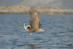 White-tailed Eagle with catch. Royalty Free Stock Photos