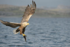 White-tailed Eagle with catch. Royalty Free Stock Image
