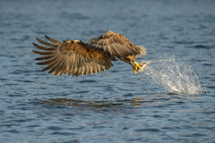 White-tailed Eagle with catch. Stock Image