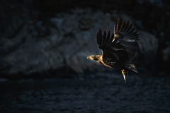 White-tailed eagle with catch Royalty Free Stock Images