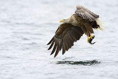 White-tailed Eagle. Catching fish stock photography
