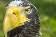 White-tailed eagle close-up Stock Image