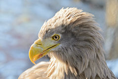 White-tailed Eagle. Close up portrait Royalty Free Stock Image