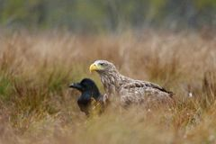 White-tailed eagle and Common Raven Royalty Free Stock Photography