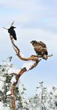White-tailed eagle and Crow. On tree Stock Photos