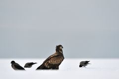 White-Tailed Eagle with crows Royalty Free Stock Photos