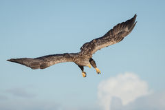 White tailed eagle dive. An impressive white tailed eagle in pre-dive position stock image