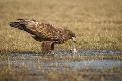 White tailed eagle eating a freshly caught fish Stock Image