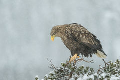 White tailed Eagle in falling snow. A female White tailed Eagle sitting on top of a pine tree in a heavy snow fall Stock Photos