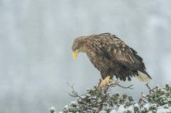 White tailed Eagle in falling snow. Stock Photos