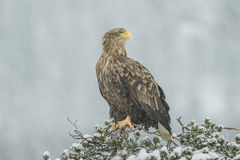 White tailed Eagle in falling snow. A female White tailed Eagle sitting on top of a pine tree in a heavy snow fall Royalty Free Stock Photos