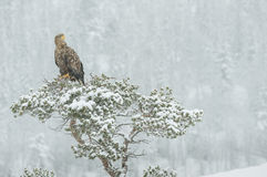 White tailed Eagle in falling snow. A female White tailed Eagle sitting on top of a pine tree in a heavy snow fall Royalty Free Stock Image