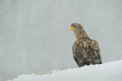 White tailed Eagle in falling snow. In a heavy snowfall this female White tailed Eagle investigates a dead fox buried in snow Royalty Free Stock Photo