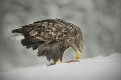 White-tailed Eagle feeding Royalty Free Stock Photo